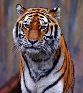 Húsevő tigris, ragadozó